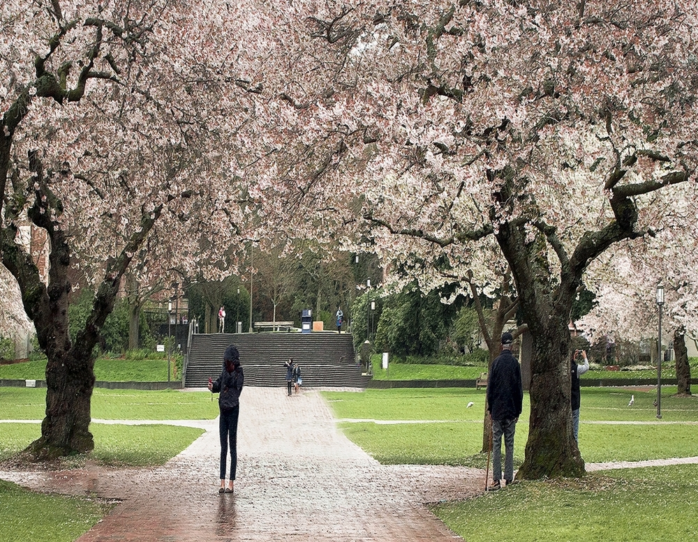 Cherry Blossom Time at the Quad