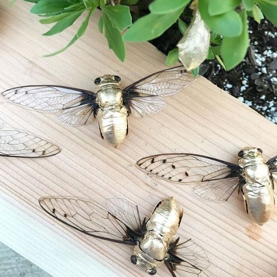 Golden Cicadas.JPG