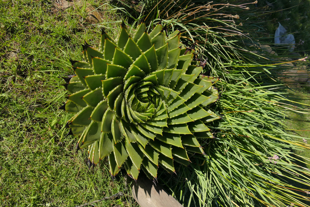 The Spiral Aloe is only found in the Maluti Mountains in Lesotho. No place else in the world has this incredible crop, which is used in some traditional Basotho ceremonies. The male spins clockwise and the female spins counter clockwise.