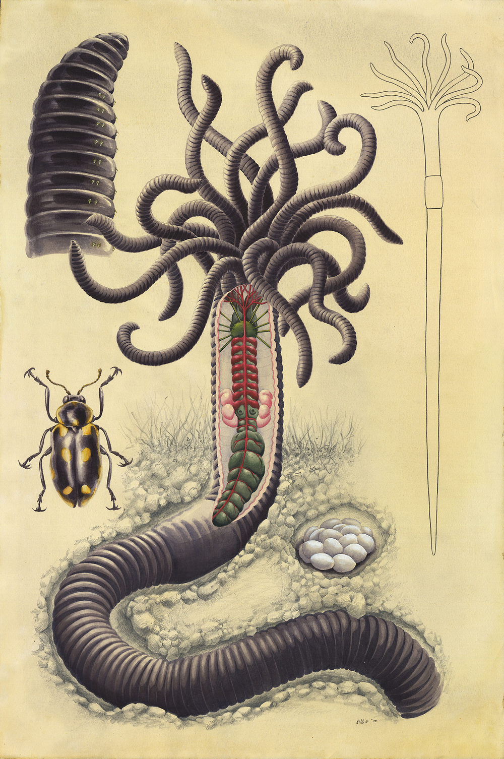 Hydra Worm (Lumbricus Hydridae)