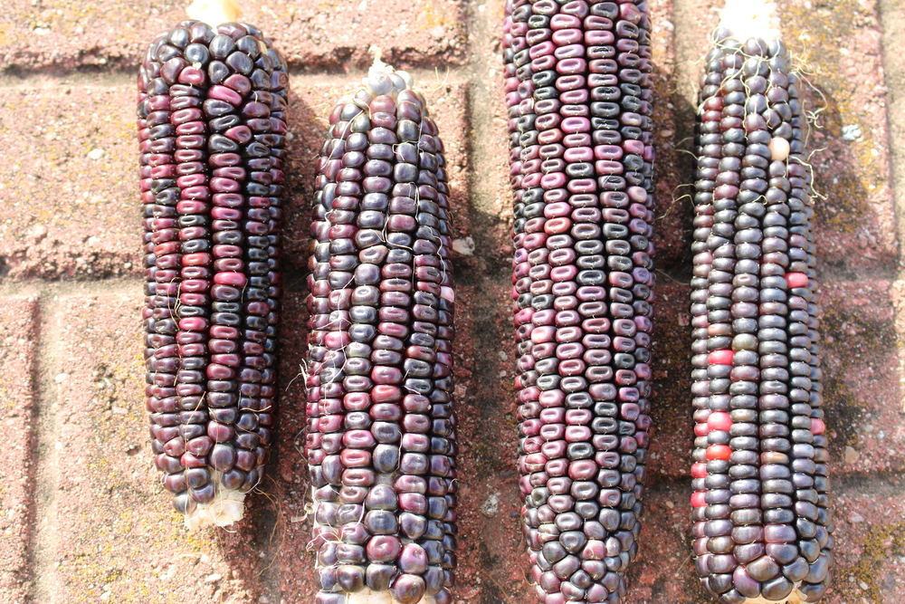 Niles Blue Corn 2014