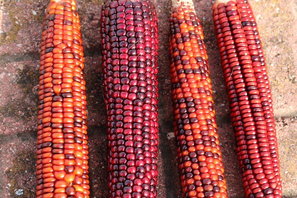 Niles Red Corn 2014