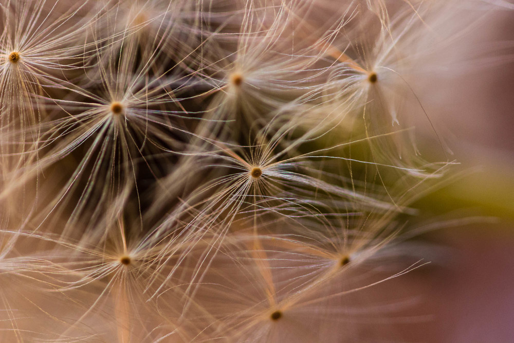 A dandelion up close.