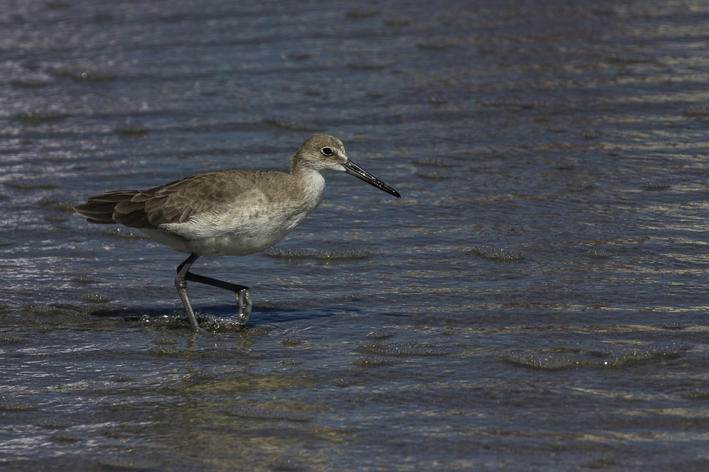 Godwit Shore Bird Myrtle Beach