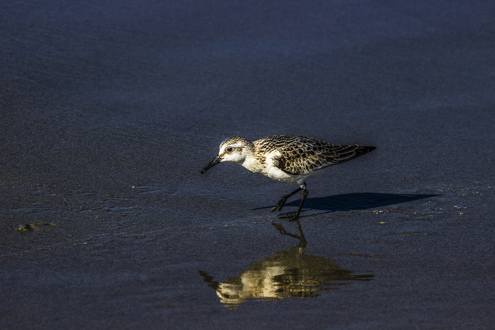 Plover Shore Bird Myrtle Beach