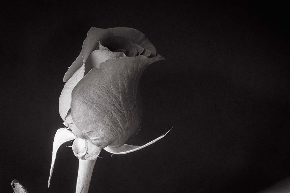 Red Rose in Mono