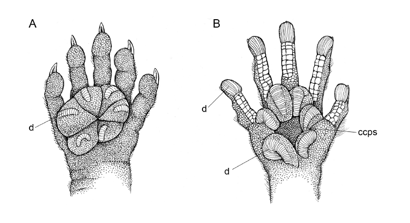 Differences in plantar morphology between (a)  Thylamys velutinus  and (b)  T. macrurus  (Fig. 13; Giarla et al., 2010).