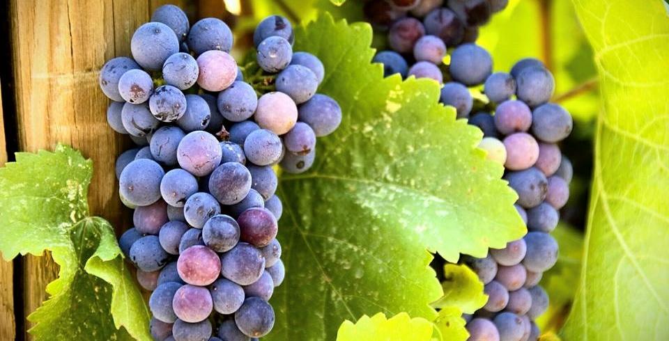 DANCIN grapes. Yum.