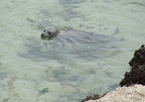Harbor seal swimming in shallow water on the California coast. (Original image by Tewy via Wikimedia Commons)