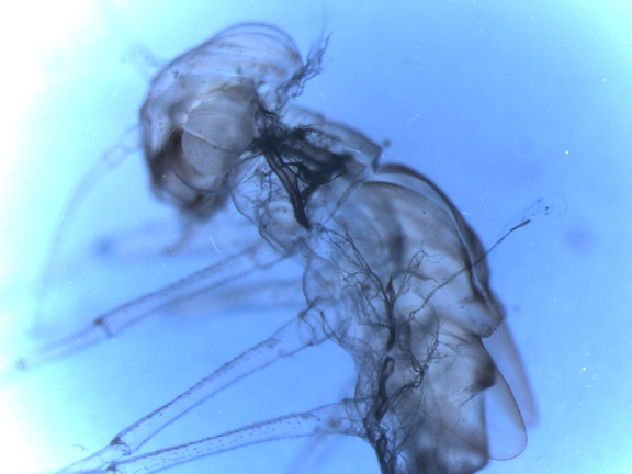 The shed exoskeleton of a mayfly larva. The branched, feathery structure at the base of the head is part of the lining of the respiratory system.   (Image by Allison Camp)