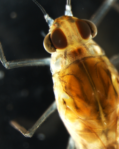 Cloeon dipterum , the mayfly Camp and her colleagues studied, is a member of the baetidae family, a group commonly known as the small minnow mayflies.   (Image by Allison Camp)