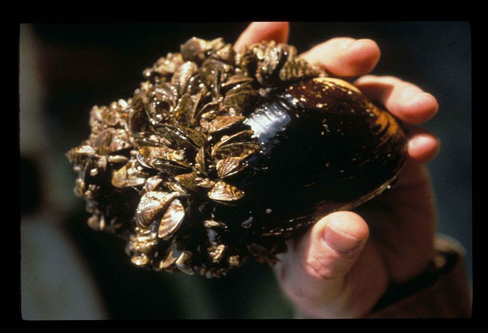 Zebra mussels grow on any hard surface they can find, even other mussels.  (Image by U.S. Fish and Wildlife Service via  Wikimedia Commons )