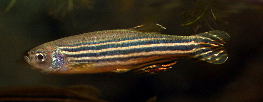 Zebrafish, like many other animals, sometimes exhibit cannibalism.   (Image by Soulkeeper via  Wikimedia Commons )