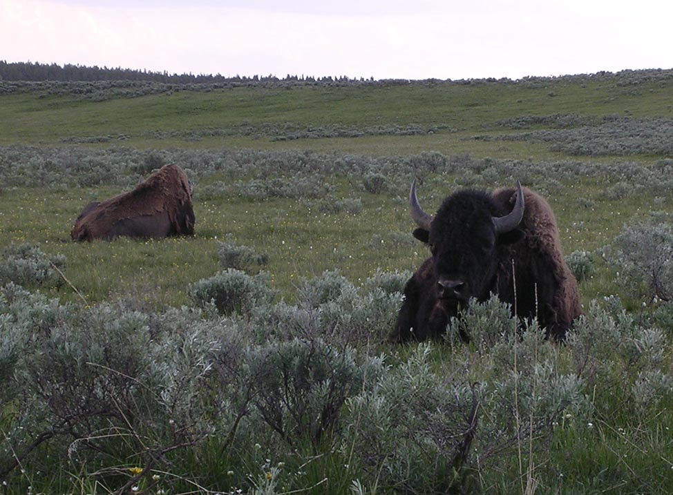 Bison in Yellowstone National Park. (Image by Emily Benson)