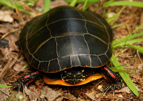 Researchers studied four turtle species in Lake Opinicon, in southeastern Ontario, Canada, including the painted turtle.  (Image by Micheal Jewel via Flickr)