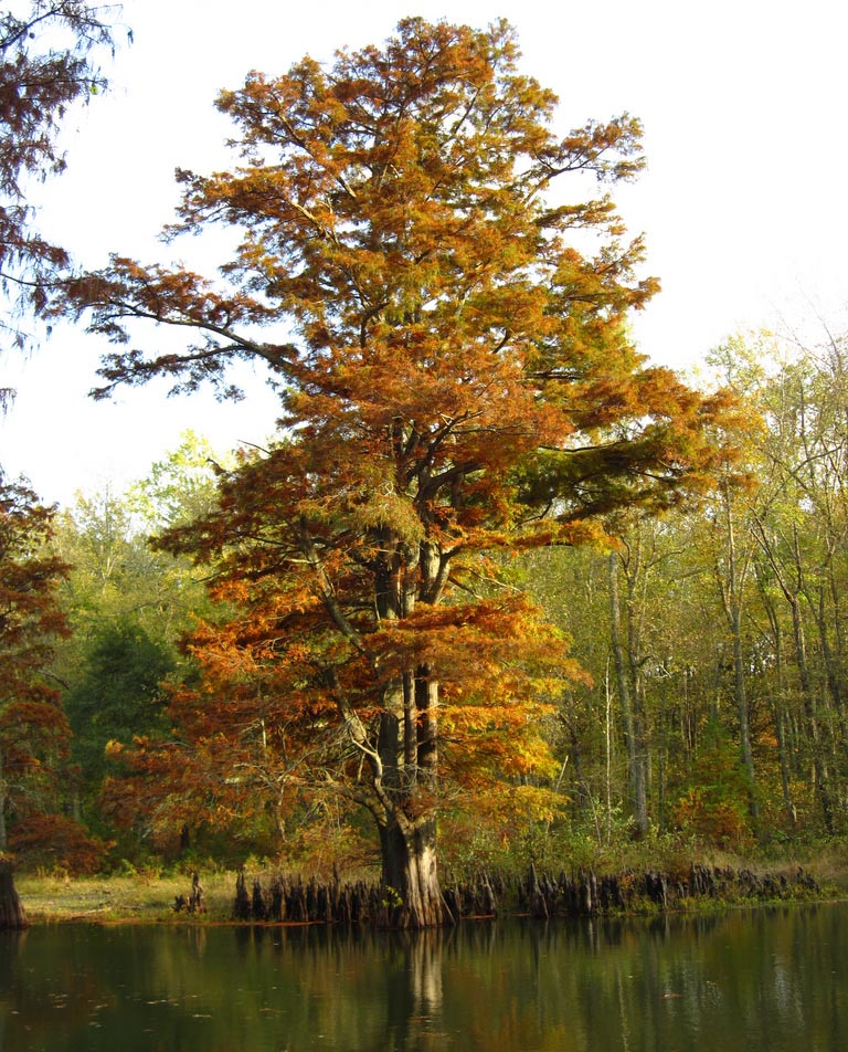 A baldcypress tree in October. (Image by cm195902 via Flickr)