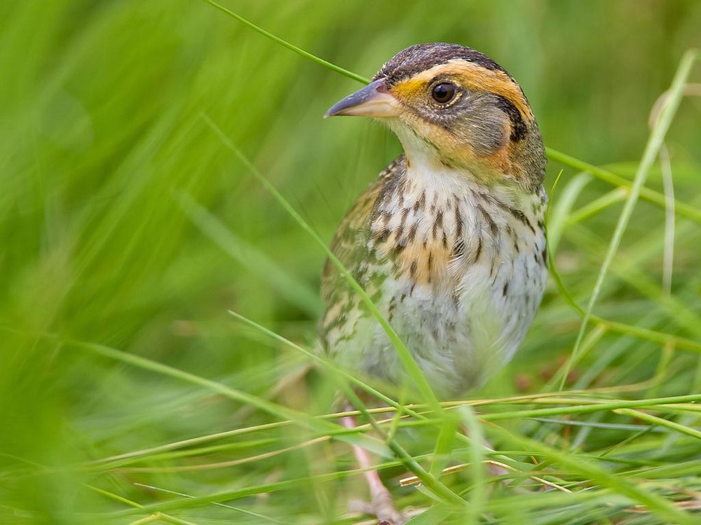 Saltmarsh sparrows  are four to five inches long, and weigh less than an ounce.  (Image by nebirdsplus via  Flickr )