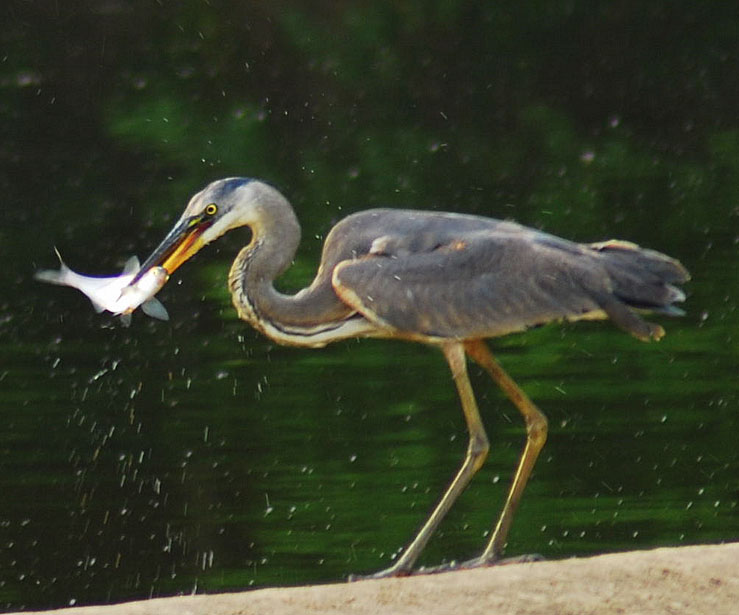 Fish are a staple food for great blue herons. (Image by Pen Waggener via Flickr/Creative Commons license)