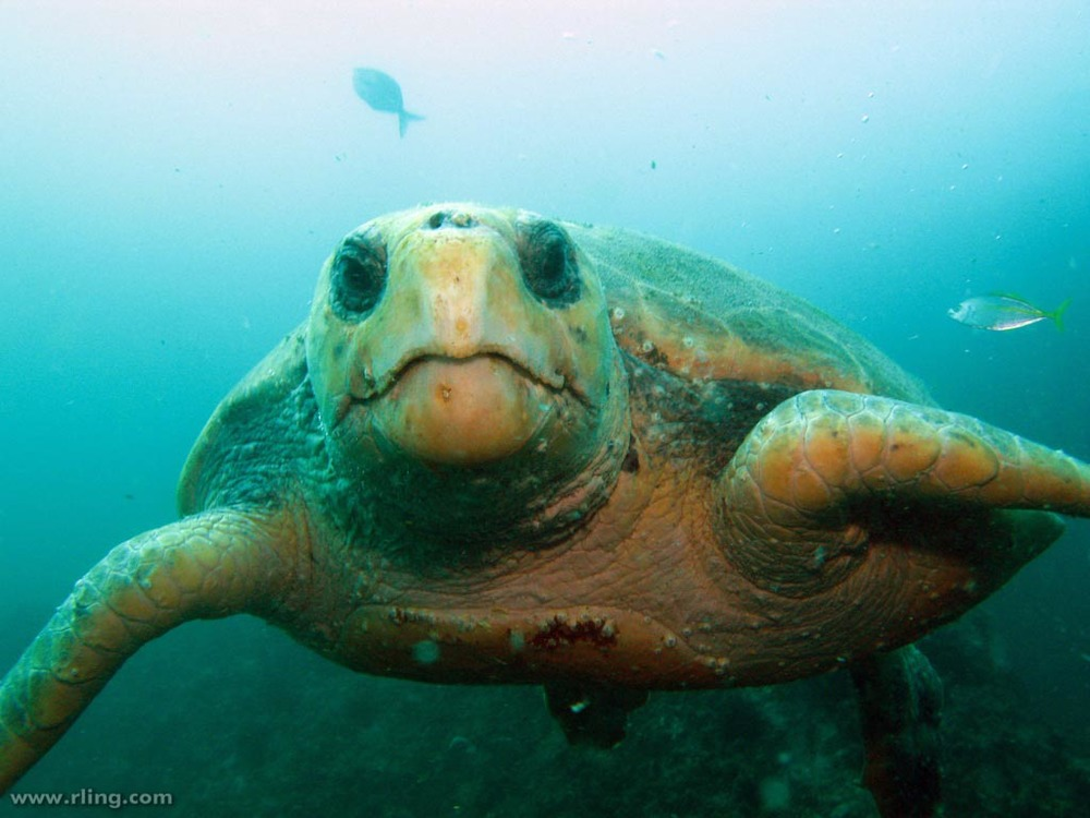Loggerhead sea turtles  are typically about three feet long and weigh about 250 pounds.  (Image by Richard Ling via  Flickr /Creative Commons license)