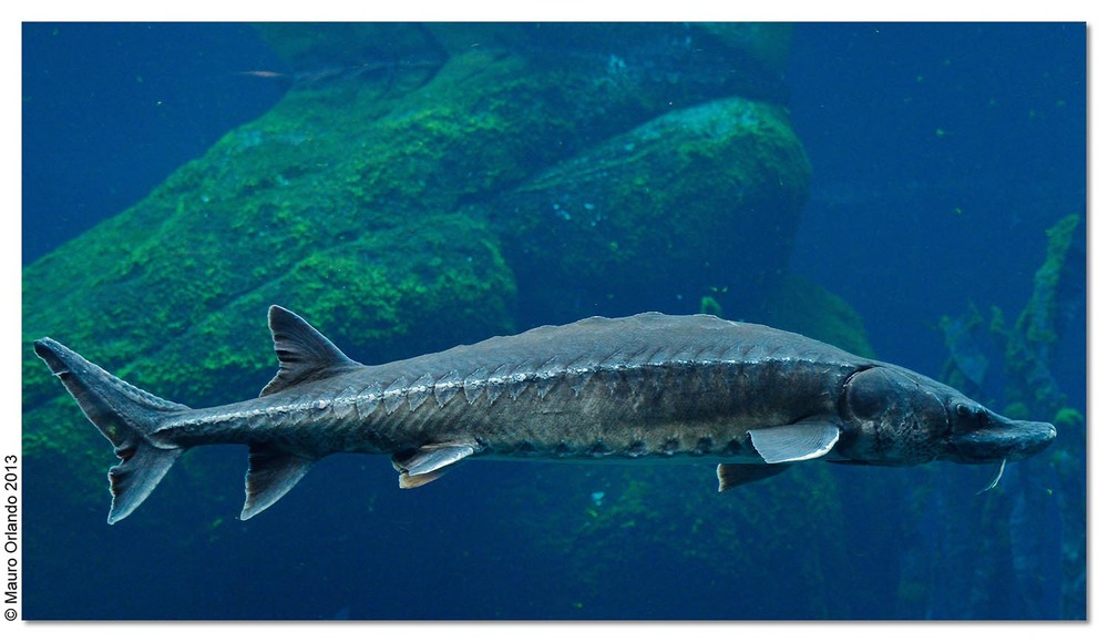As a species, Atlantic sturgeon were swimming under the waves when dinosaurs walked the Earth, more than 120 million years ago.   (Image by Mauro Orlando via  Flickr /Creative Commons license)