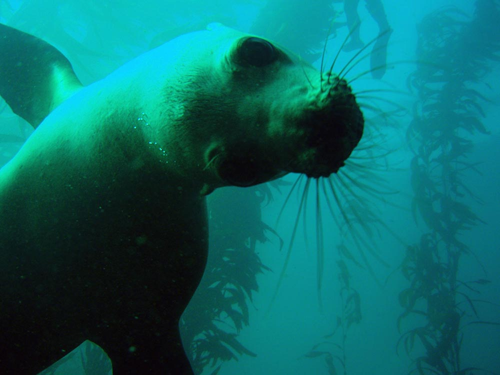 Marine protected areas provide shelter from human activities for marine organisms like the sea lion pictured here.   (Image by NOAA's National Ocean Service via  Flickr /Creative Commons license)