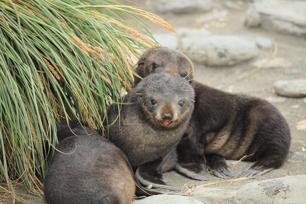 Antarctic fur seal pups at Salisbury Plain, on South Georgia Island, in the southern Atlantic Ocean. (Image by Liam Quinn via Flickr/Creative Commons license)
