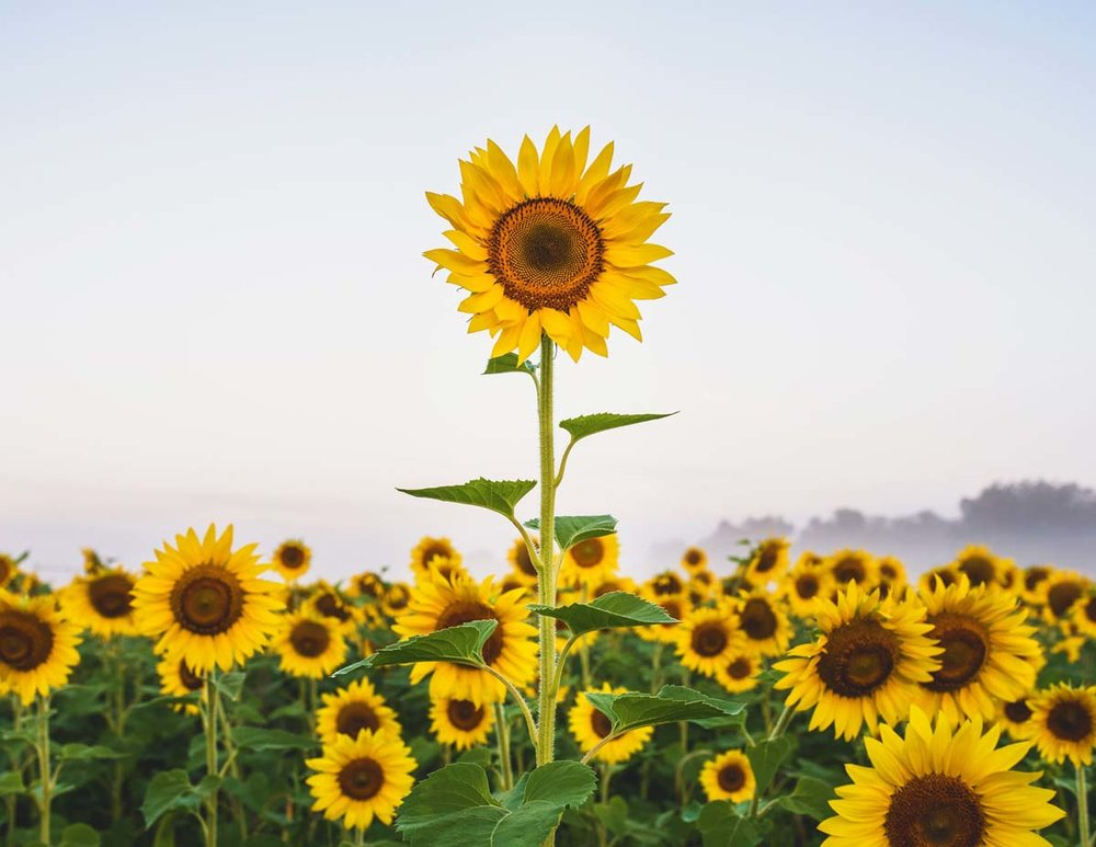 sunflowers-8b.jpg