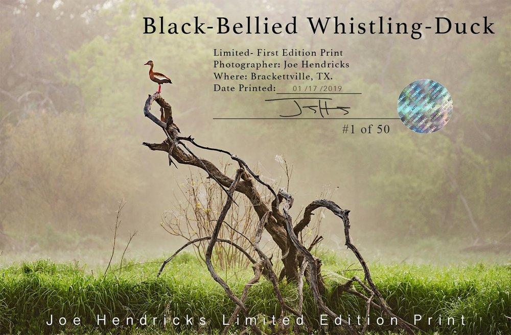 COA-Black-bellied-whisteling-duck-WEB copy.jpg