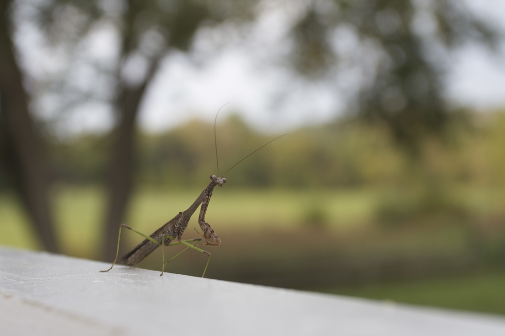 Praying mantis (they are everywhere!!)