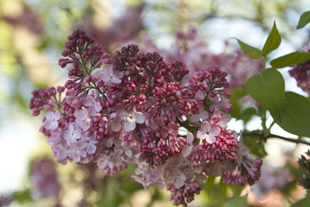 Right now there are several stunning lilacs in full glory - The smell is intoxicating and I can't help but send every visitor to the farm away with an armful.