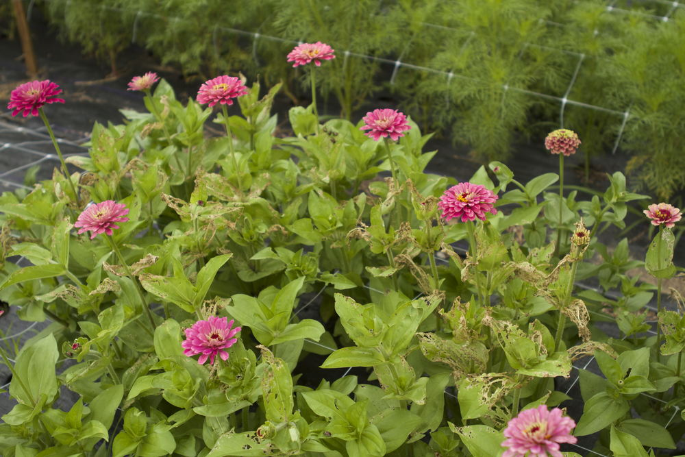 Zinnias under Japanese Beetle attack