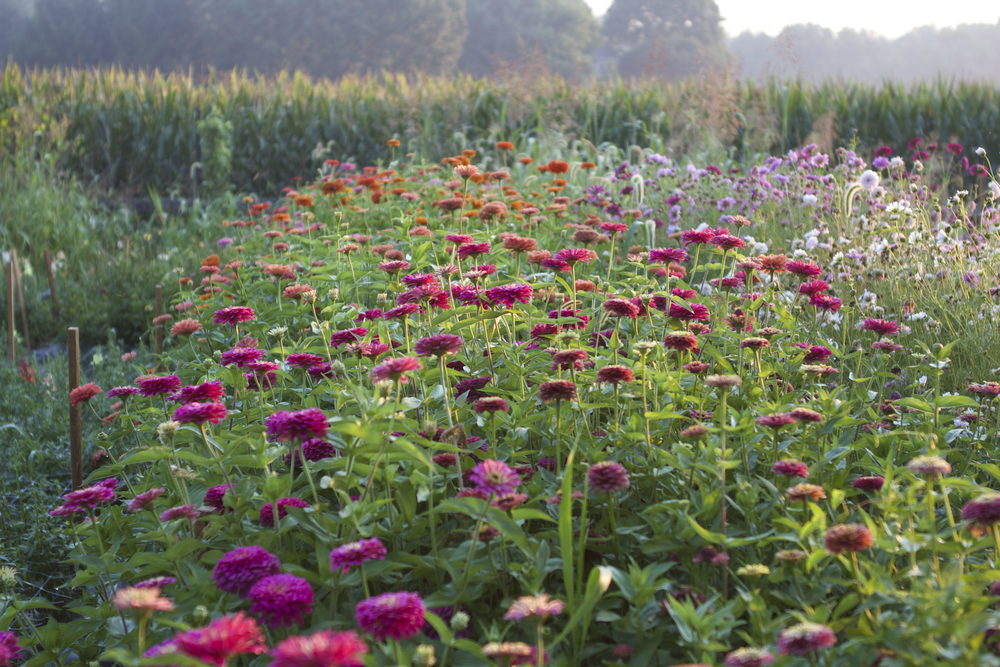 A zinnia patch