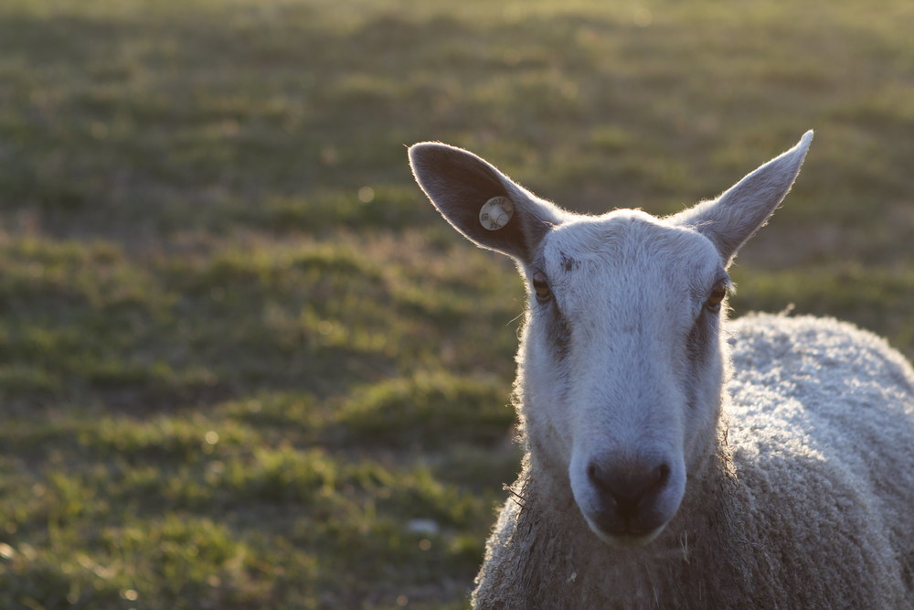 These darn sheep -- They are very photogenic but they are so D-U-M-B!!!