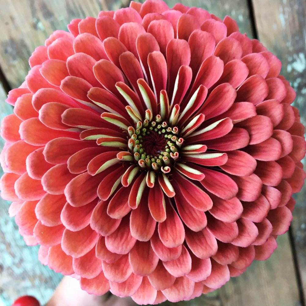 the most perfect zinnia
