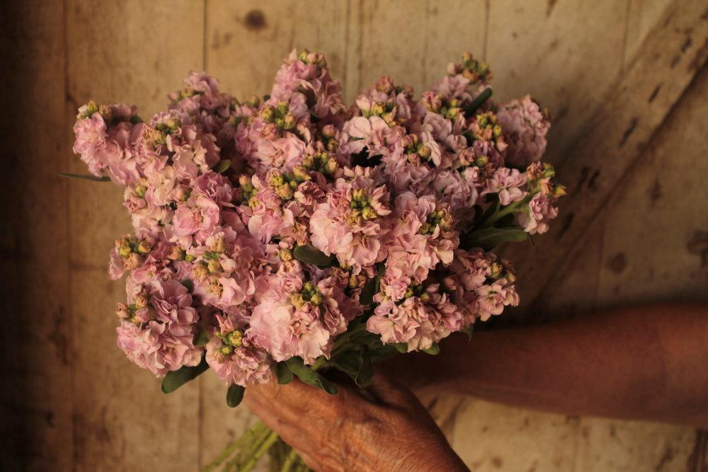 Cherry blossom stock (Matthiola)