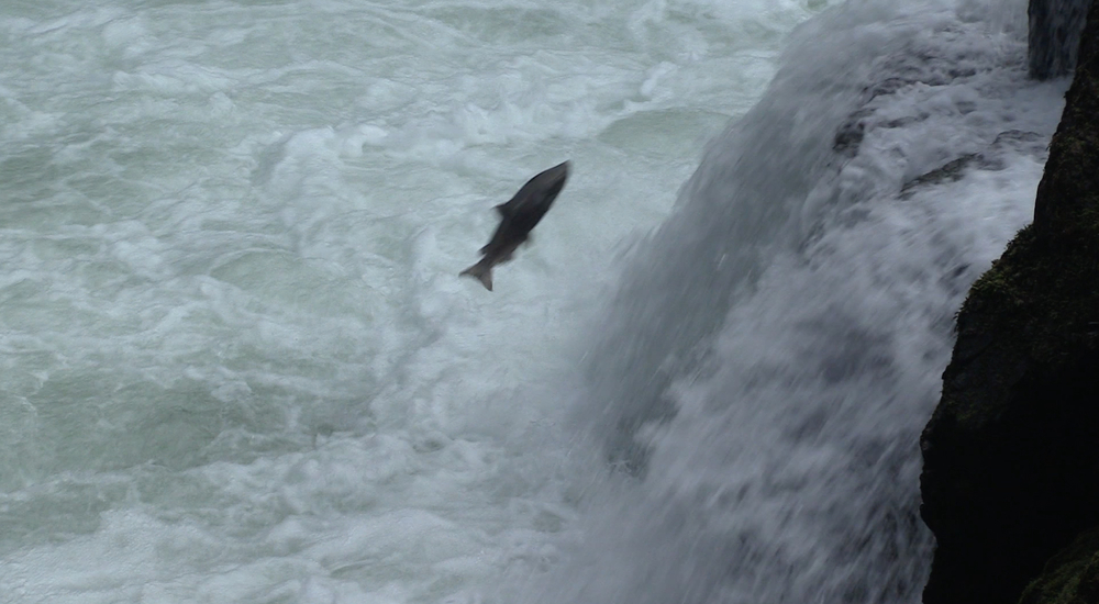 Salmon at Stamp Falls