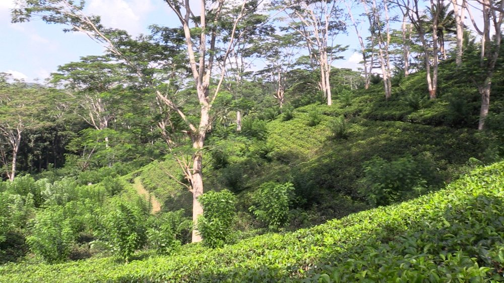 Tea fields with trees for shade