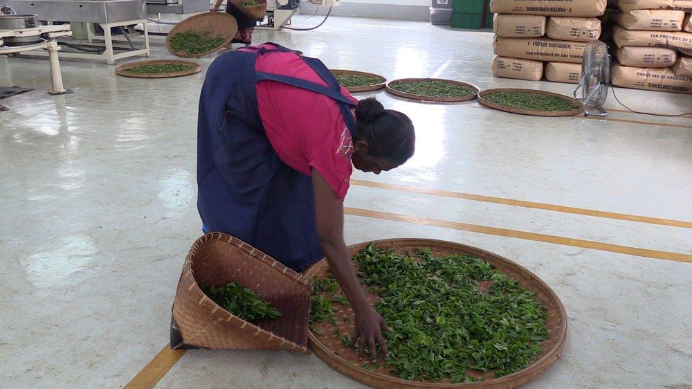Inside the Green Tea Factory