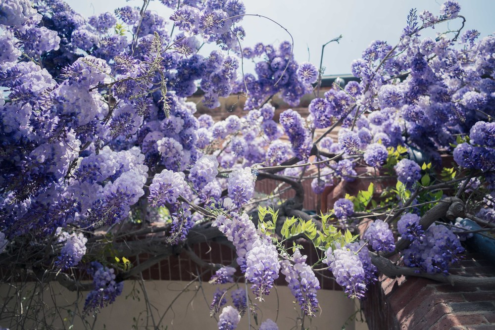 wisteria bloom fotografo Laura Griffiths