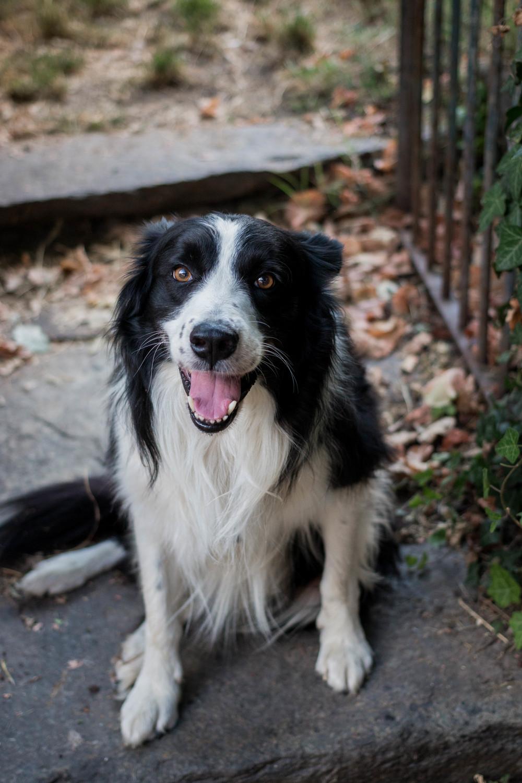 cane border collie ritratto