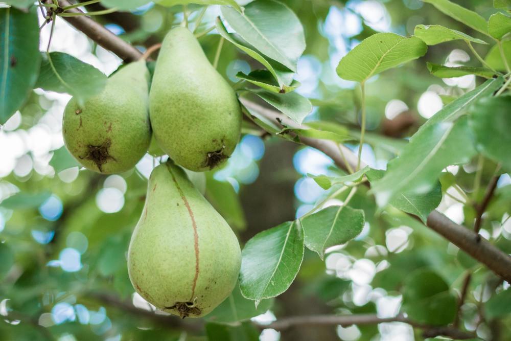 pere pears italian summer vacanze agosto frutta