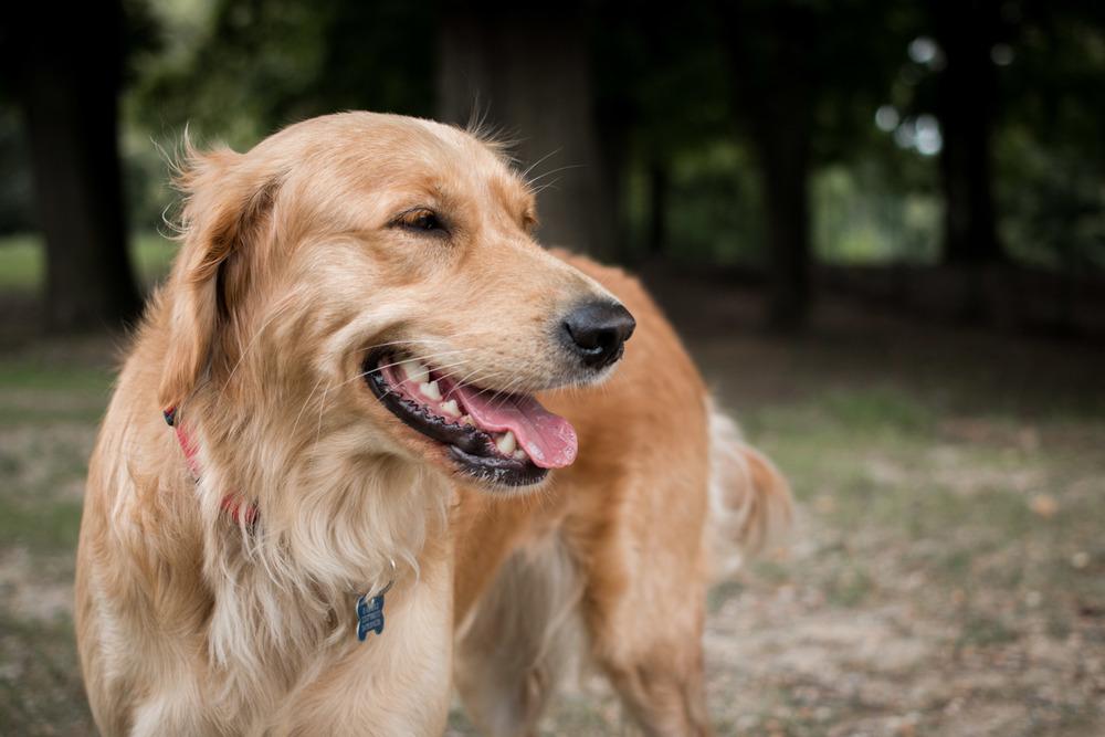 golden retriever Pet photographer bau Fotografo torino cane