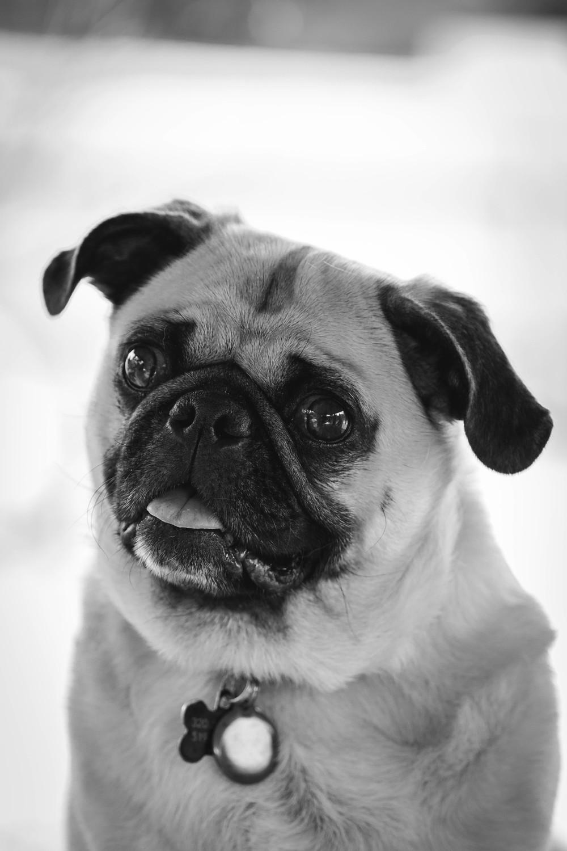 carlino Pet photographer bau Fotografo torino cane