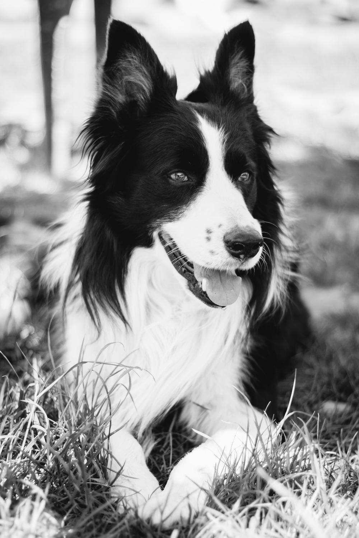 ritratti cane border collie parco torino fotografo laura griffiths fotografia