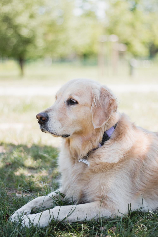 Cani ritratti cane golden retriever parco torino fotografo laura griffiths fotografia