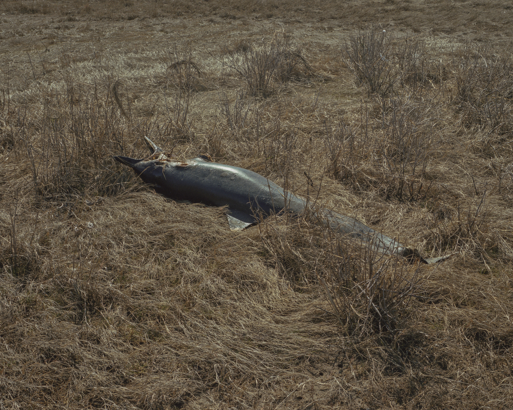 Decomposing Dolphin in the tall grass copy.jpg