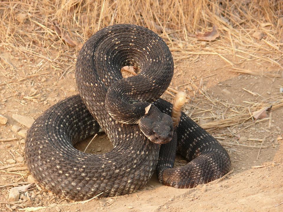 Fine snake bite aftershave rattlesnake