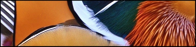 Mandarin Duck.jpg