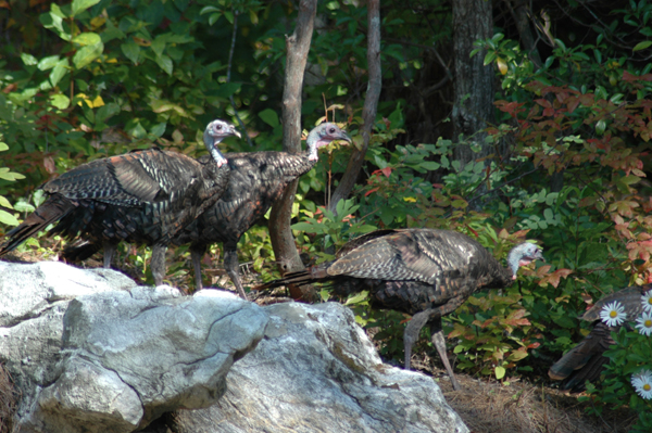 Wild Turkey seen in Stonefly