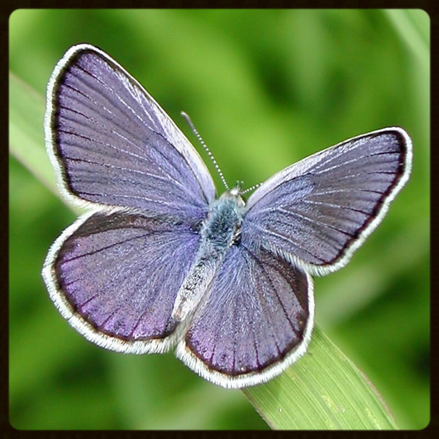 Karner Blue Butterfly. Photo courtesy University of Notre Dame Environmental Change Initiative.